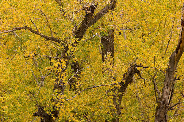 Autumn Art Print featuring the photograph Cottonwood Fall Foliage Colors by James BO Insogna