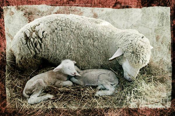 Sheep Art Print featuring the photograph Counting Sheep by Sari Sauls