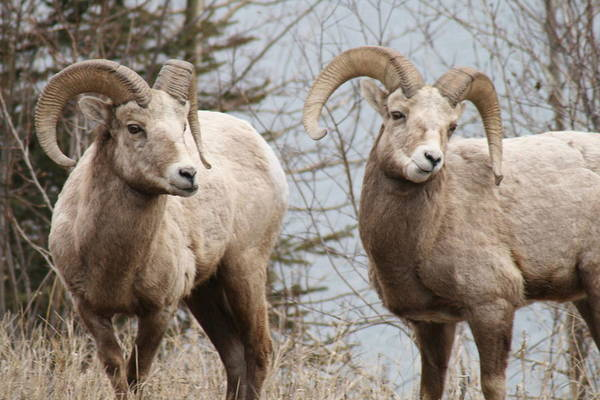 Bighorn Sheep Art Print featuring the photograph Couple Of Rams- Banff National Park by Tiffany Vest