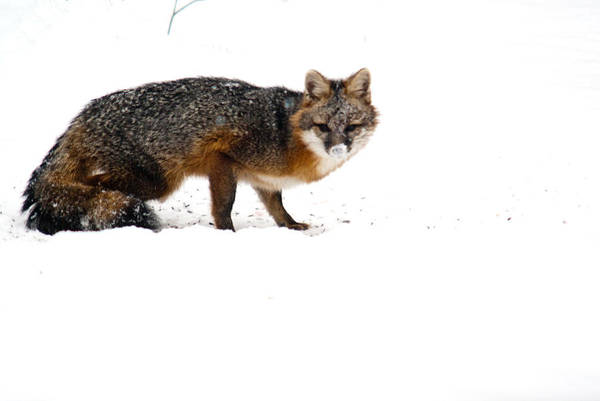 Red Art Print featuring the photograph Curious Red Fox In Snow by Douglas Barnett