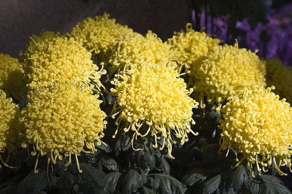 Large Curly Yellow Mums Art Print featuring the photograph Curly Mums by Sally Weigand
