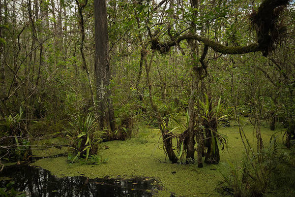 Nature Art Print featuring the photograph Cypress Forest by George Kenhan
