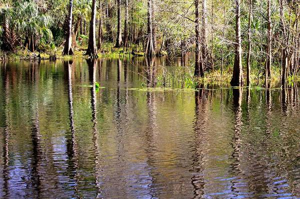 Cypress Trees Art Print featuring the photograph Cypress Trees Along The Hillsborough River by Carol Groenen