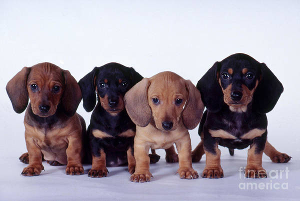 Fauna Art Print featuring the photograph Dachshund Puppies by Carolyn McKeone and Photo Researchers