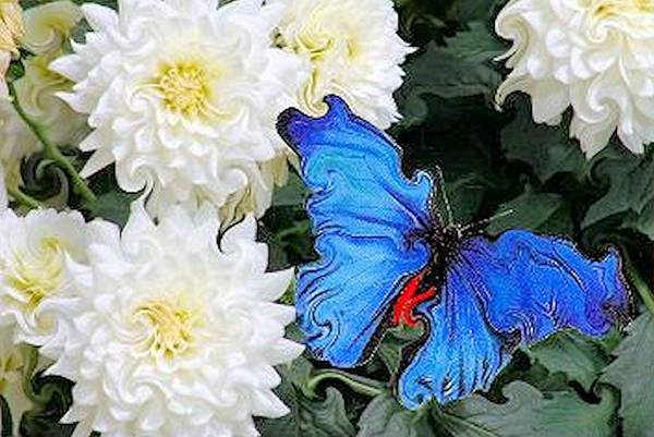 Dahlias Art Print featuring the photograph Dahlias And The Butterfly by G Berry