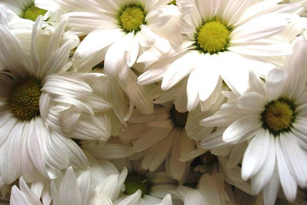 Flowers Art Print featuring the photograph Daisies Make Me Smile by Laura Grisham