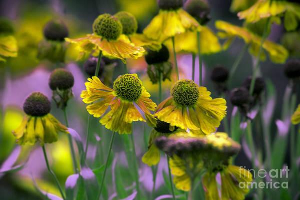 Flower Art Print featuring the photograph Daisy Balls by Karen Lewis