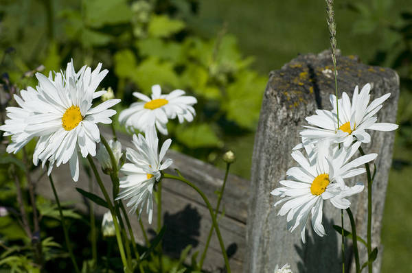 Daisies Art Print featuring the photograph Daisy Delight by Peter Olsen