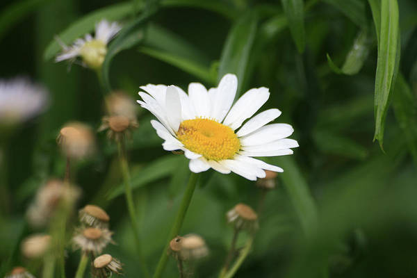 Wild Flowers Art Print featuring the photograph Daisy One by Alan Rutherford