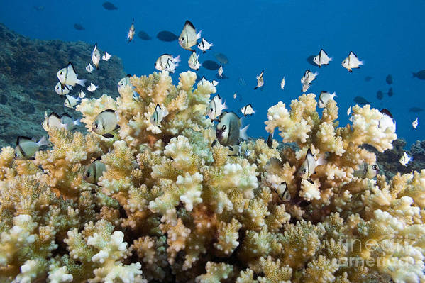Bright Art Print featuring the photograph Damselfish Among Coral by Dave Fleetham - Printscapes