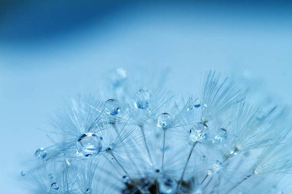Water Art Print featuring the photograph Dandelion Bouquet by Rebecca Cozart