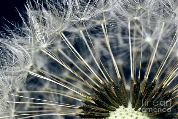 dandelion Snow Art Print featuring the photograph Dandelion Seed Head by Ryan Kelly