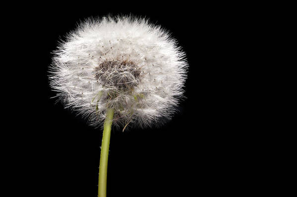 Weed Art Print featuring the photograph Dandelion Seedhead by Steve Gadomski