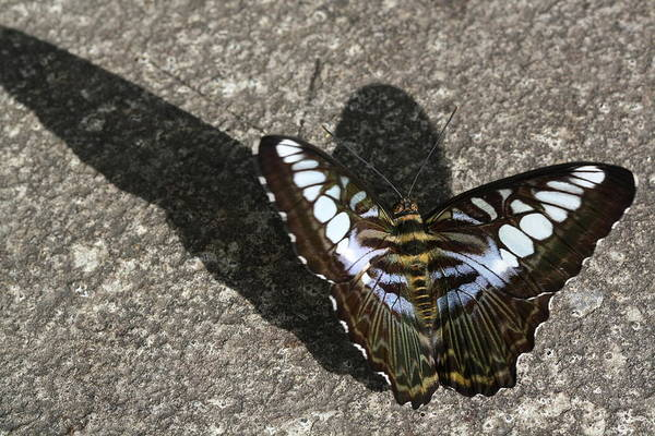 Butterfly Art Print featuring the photograph Dark Giant by Laurel Ransom