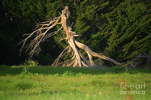 Park Art Print featuring the photograph Dead Tree II by Chuck Kuhn