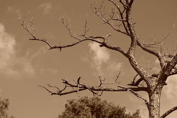 Sepia Art Print featuring the photograph Dead Wood by Rob Hans