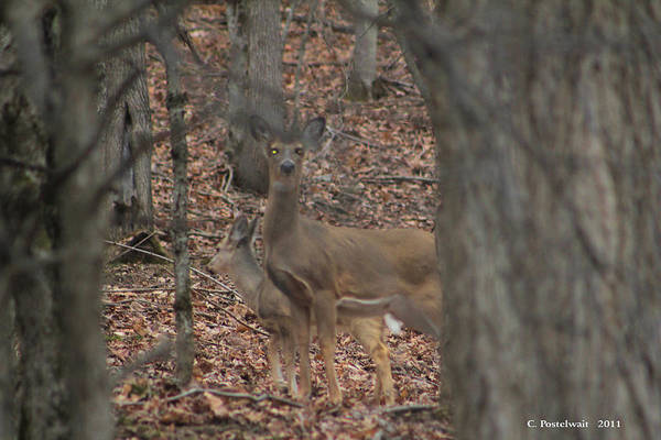 Woods Art Print featuring the photograph Deer Hiding In The Woods by Carolyn Postelwait
