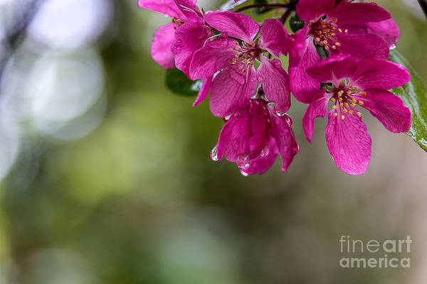 Flowers Art Print featuring the photograph Dew On Blossoms by Beverly Tabet