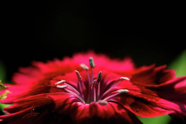 Flower Art Print featuring the photograph Dianthus In Desperation by April Zaidi
