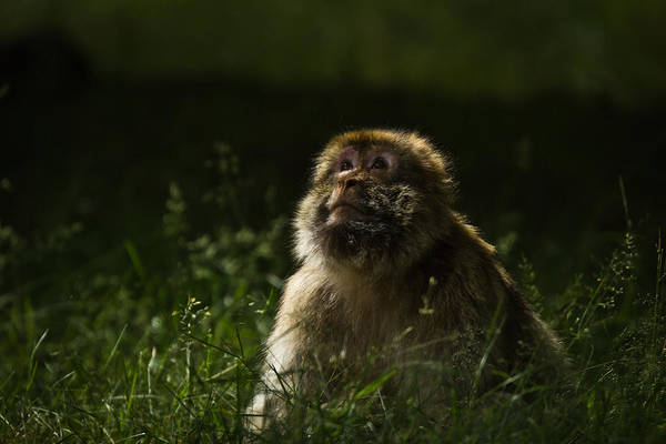 Macaque Art Print featuring the photograph Distant Thoughts by Chris Whittle
