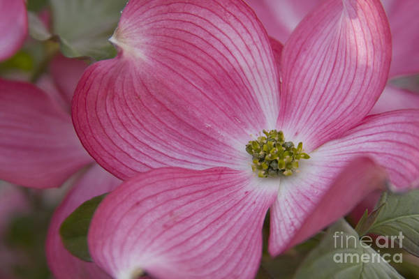 Dogwood Art Print featuring the photograph Dogwood Bloom by Idaho Scenic Images Linda Lantzy