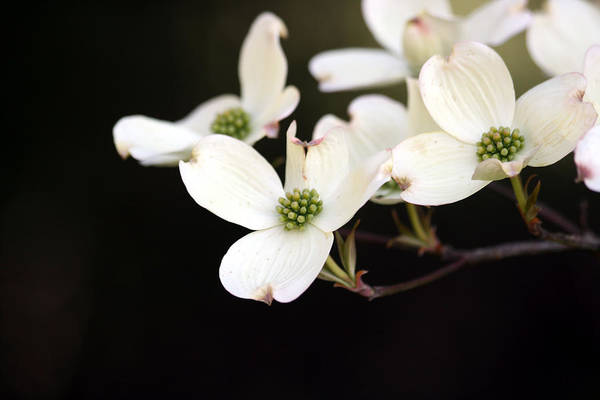 Dogwood Art Print featuring the photograph Dogwood Blooms by George Jones