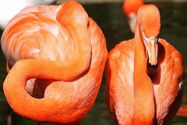 Flamingo Art Print featuring the photograph Don't Look Back by Imagery-at- Work