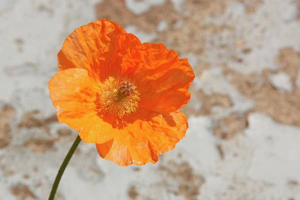 Doorway Poppy Art Print featuring the photograph Doorway Poppy by Martina Fagan