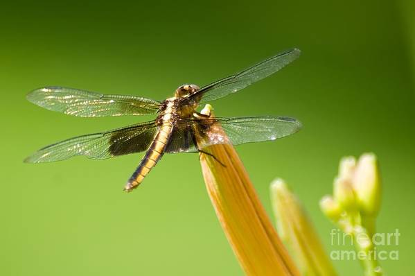 Insect Art Print featuring the photograph Dragonfly by Ralf Broskvar