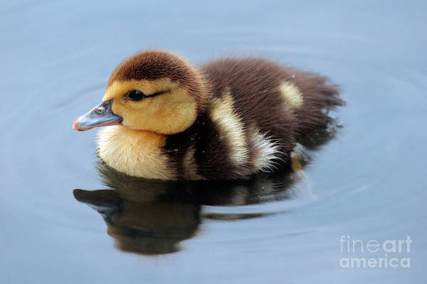 Baby Art Print featuring the photograph Duckling by Jeannie Burleson