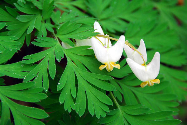 Dutchman's Breeches Art Print featuring the photograph Dutchman's Breeches by Alan Lenk
