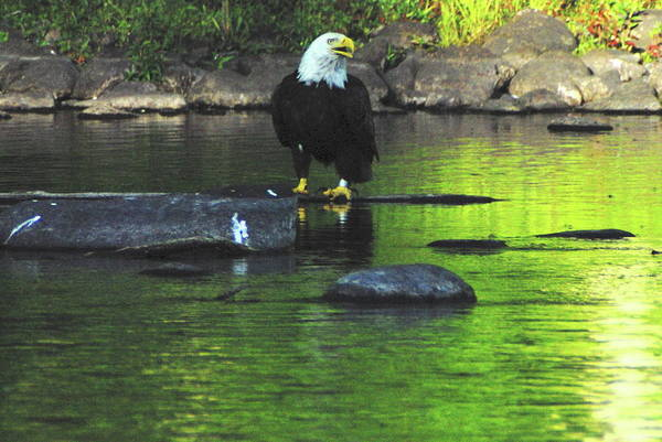 Eagle Art Print featuring the photograph Eagle On River Rock IIi by Alice Markham