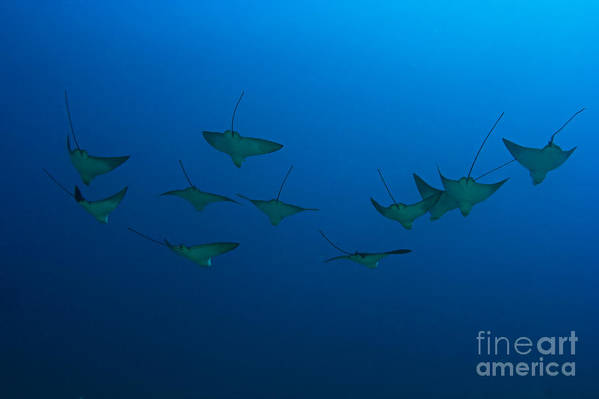 Aetobatus Art Print featuring the photograph Eagle Rays In Ocean by Dave Fleetham - Printscapes