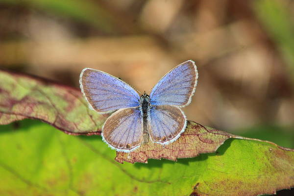 Wildlife Art Print featuring the photograph Eastern Tailed Blue by John Burk