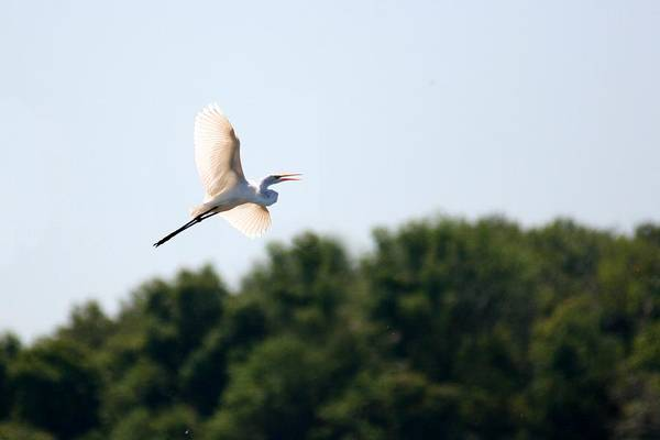 Bird Art Print featuring the photograph Egret In Flight by David Dunham