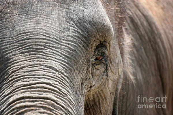 Asian Art Print featuring the photograph Elephant Eye by Jeannie Burleson