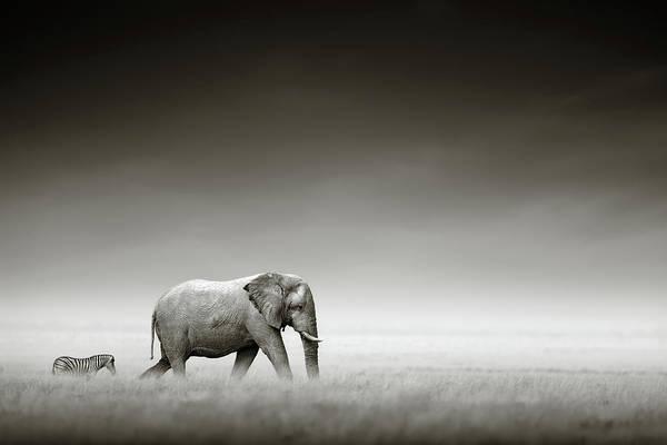 Elephant; Zebra; Behind; Follow; Huge; Big; Grass; Grassland; Field; Open; Plains; Grassfield; Dark; Sky; Together; Togetherness; Art; Artistic; Black; White; B&w; Monochrome; Image; African; Animal; Wildlife; Wild; Mammal; Animal; Two; Moody; Outdoor; Nature; Africa; Nobody; Photograph; Etosha; National; Park; Loxodonta; Africana; Walk; Namibia Art Print featuring the photograph Elephant With Zebra by Johan Swanepoel
