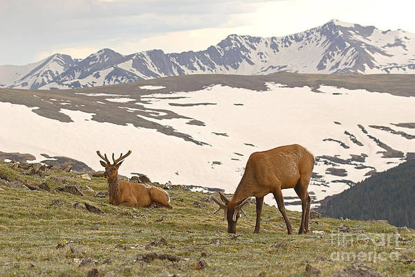 Elk Art Print featuring the photograph Elk Bulls In The Highlands Of Colorado by Max Allen