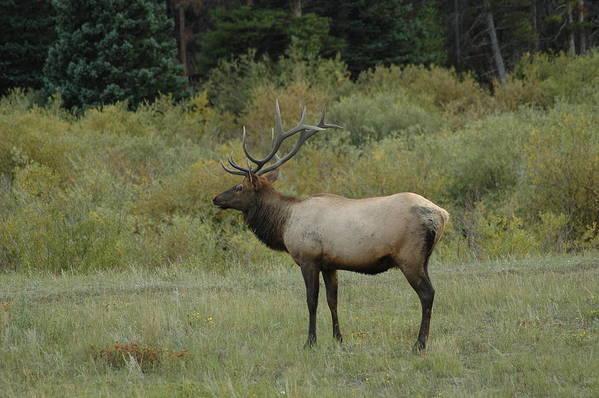 Elk Art Print featuring the photograph Elk by Kathy Schumann