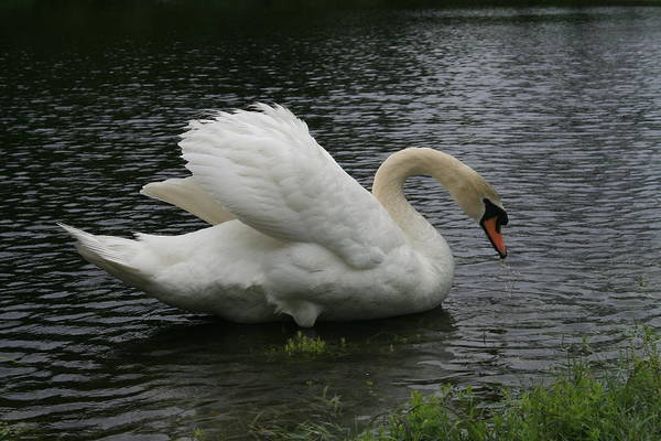 Swan Art Print featuring the photograph Eltham Swan II by Jim Newman