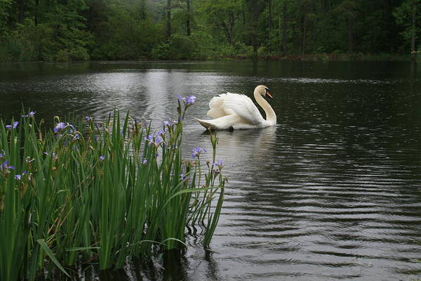 Swan Art Print featuring the photograph Eltham Swan IIi by Jim Newman
