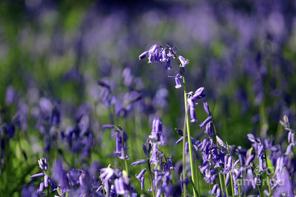 English Bluebells In Bloom Epsom Surrey Uk English Bluebells Wood Effingham Surrey Uk Countryside Landscape Blue Flowers Traditional Scene Woodland Bluebell Forest Picturesque Close Up Art Print featuring the photograph English Bluebells In Bloom by Julia Gavin