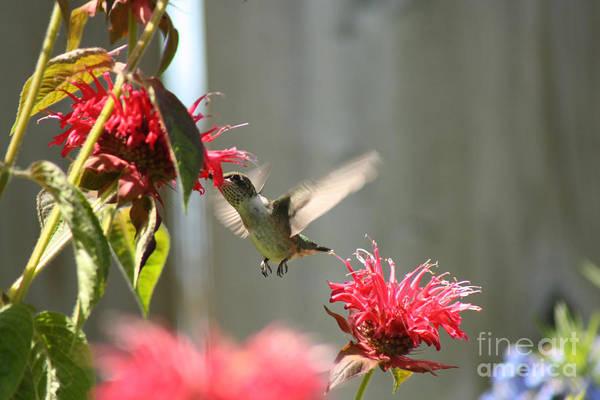 Hummingbird Art Print featuring the photograph Enjoying The Bee Balm by Cathy Beharriell