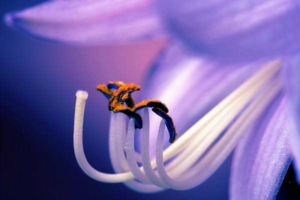 Flower Art Print featuring the photograph Eternal Seductiveness by Mitch Cat