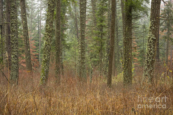 Fir Art Print featuring the photograph Evergreen Fog by Idaho Scenic Images Linda Lantzy