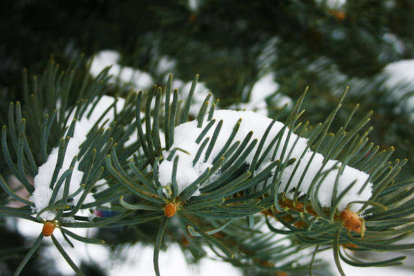 Evergreen Art Print featuring the photograph Evergreen by Kevin Phipps