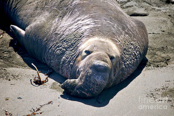 Elephant Seals Art Print featuring the photograph Exhausted Elephant Seal by YJ Kostal