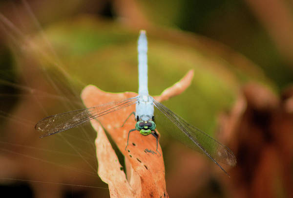 Dragonfly Art Print featuring the photograph Face Of The Dragon by Karl Ford