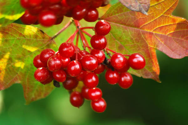 Autumn Art Print featuring the photograph Fall Berries 2 by Michael Peychich
