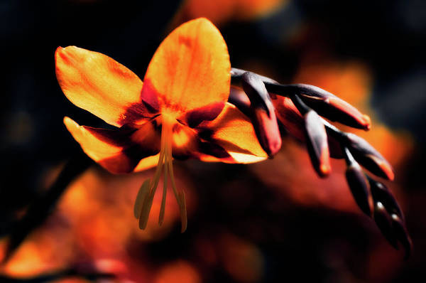 Botanical Art Print featuring the photograph Falling Star by Venetta Archer